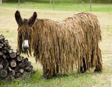 baudet-du-poitou-donkey