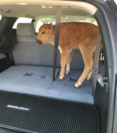 BisonCalf