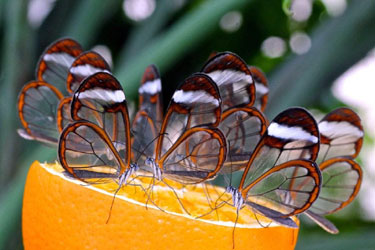 glasswing-butterfly
