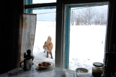 FoxLookinginWindow
