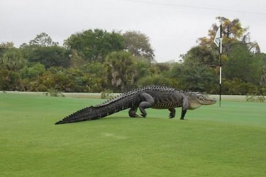 AlligatorGolfCourse