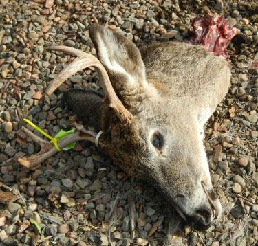 deerhead