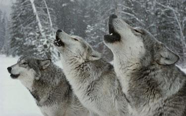 WolvesHowling