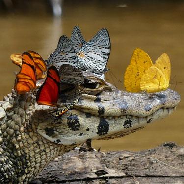 butterflygator2