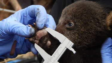 measuringbearcub